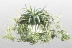 Spider Plants like medium to bright indirect light. Solid green Spider Plants need less light than variegated Spider Plants. No Spider Plant should ever be put in direct sun light. Best Indoor Plants, Air Plants, Chlorophytum, Low Light Plants, Spider Plants, Plant Needs, Propagation, Cactus Flower, Gardens