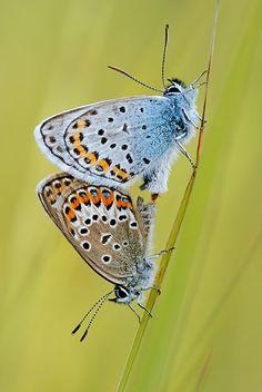 Martin Amm: Fotos de mariposas europeas (28 fotos) - Taringa!