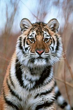 Amur tiger (Panthera tigris altaica) Rocky Mountains Montana, United States of America. Save The Tiger, Tiger Love, Vida Animal, Mundo Animal, Beautiful Cats, Animals Beautiful, Animals And Pets, Cute Animals, Wild Animals