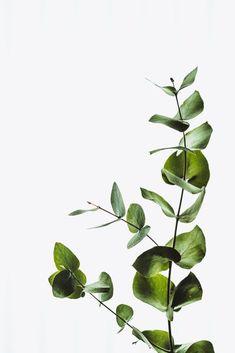 Minimal eucalyptus leaves photo by Annie Spratt ( on Unsplash Green Leaves, Plant Leaves, Mint Decor, Plant Wallpaper, Green Leaf Wallpaper, White Wallpaper, Plant Aesthetic, Leaf Images, Leaf Background