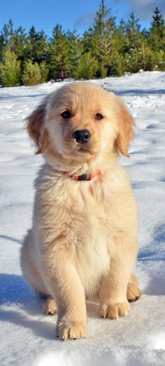 Golden Retrievers love snow