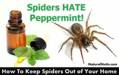 Mix 10 drops of peppermint oil with 7 ounces of water in a spray bottle and spray around your home and outside the base of your home to keep spiders away.
