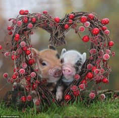 love pigs funny cute little pigs pics photos 18 Cute baby pigs which will make you feel awww Farm Animals, Animals And Pets, Funny Animals, Cute Animals, Wild Animals, Beautiful Creatures, Animals Beautiful, Animal Pictures, Cute Pictures