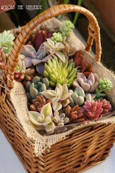 Succulents in wicker basket - find baskets to replicate this succulent garden at www.thebasketlady.com