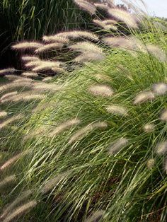 "Low water perennials-Ornamental Grass Ornamental grasses vary a lot, from thirsty sedges to drought tolerant fountain grass. Our pick for today is a fountain grass (Pennisetum) ""Hameln"". Well behaved and neatly mounded with fine strappy foliage, this grass grows to 2 feet and sends up stalks of white plumes in early-mid summer. This grass is an easy grower in full sun, and loves a hot, dry spot. This variety does not reseed. Zones 5-9. What's not to love!"