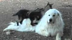 Baby Goats Torment Bigger Dog | Storyful - Yahoo Screen