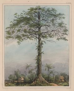 """Kutten-triehout. View of """"wild cotton"""" tree. In the background are dwellings. Source creator: Benoit, P. J. (Pierre Jacques), 1782-1854 Source Title: Voyage a Surinam : Description des possessions Néerlandaises dans la Guyane. Probably a Silk Cotton, Kapok, or Ceiba (Ceiba pentandra) tree, a tree which grows rapidly to over 80 feet in height and has played an important role in the spiritual life of Caribbean peoples. Porto Rico, Wellcome Collection, Tree Fern, Free Museums, Spiritual Life, Old Pictures, Botany, Digital Image, Caribbean"""