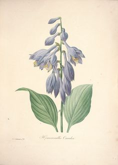 gravures de fleurs par Redoute - Gravures de fleurs par Redoute 098 hemerocallis…