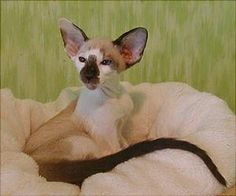 Seychellois Breed Profile    International Champion D-Shiva's Lacota Warpaint   Pictures kindly supplied by Sylvia over at   Sharue Siamese   The Seychellois cat is a relativly new breed, developed in England during the 1980's, with the approval of the of the Cat Association of Great Britain. The Seychellois cat is very similar to that of the Oriental cat.   Characterisitics Of A Seychellois Cat   Slender torso   Large ears   Triangular head   Slanting blue eyes   Long Tapered Tail