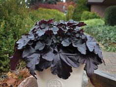 Common Name: Coral Bells Genus: Heuchera Species: hybrid Cultivar: Black Pearl Patent: PPAF Trademark: PRIMO® Black Pearl Brand: Proven Winners® Container Size: Quart Pot Black Leaves, Black Flowers, Bright Flowers, Pink Flowers, Coral Bells Heuchera, Border Plants, Proven Winners, Hardy Perennials, Deciduous Trees