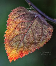 Leaf by Lewis Outing on 500px