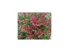 Kompaktní, stálezelený, nebo poloopadavý keř (v závislosti na počasí), dosahuje do výšky 0,7m a šířky 0,6m. Nově rašící listy jsou zářivě červené, v průběhu sezóny jsou více zelené. Na podzim opět okouzlí výrazným zbarvením. V polovině léta tvoří kónické shluky hvězdicovitých květů v bílé barvě. Lze jej pěstovat i v… Painting, Painting Art, Paintings, Painted Canvas, Drawings