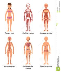 Human Body Organs, Human Body Unit, Human Anatomy Drawing, Human Body Anatomy, Human Body Organ System, Human Body Activities, Anatomy Models, Muscular System, Grande Section