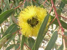 Yellow flowering gum.