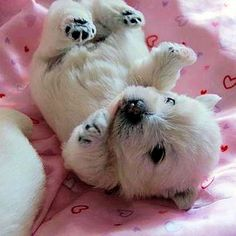 Nothin cuter than a westie puppy it looks like a baby polar bear :)