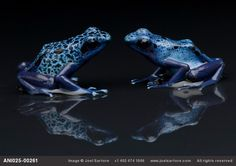 A pair of blue poison dart frogs (Dendrobates azureus) at Reptile Gardens.  ‎About the Photo Ark.