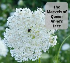 Queen Anne's Lace (Wild Carrot) and it's role in stimulating hormones / the uterus.