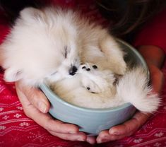 I think I NEED one of these!!! OMG too cute!! Pup in a cup! #pom #pomeranian #puppy
