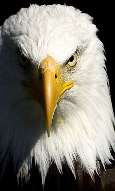 this eagle has a very cool expression. i'm not sure how i want the eagle facing. but this one has a cool amount of value contrast. The Eagles, Eagle Images, Eagle Pictures, Pictures Images, Eagle Wallpaper, Animal Wallpaper, Modern Wallpaper, Room Wallpaper, Wallpaper Ideas