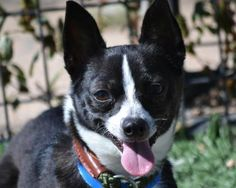 Adopt Buster, a lovely 2 years  2 months Dog available for adoption at Petango.com.  Buster is a Chihuahua, Short Coat and is available at the National Mill Dog Rescue in Colorado Springs, CO. #rescue
