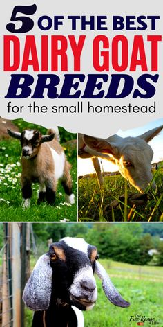 Do you want to raise goats for milk on your small farm or homestead? Here are the best dairy goat breeds for small homesteads- easy to raise, calm personalities, and smaller space requirements. These dairy goat breeds are favorites among homesteaders! Small Goat, Small Farm, Fainting Goat, Goat Shelter, Nubian Goat, Goat Care, Nigerian Dwarf Goats, Raising Goats, Future Farms