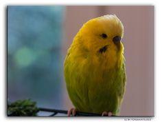 Jerry  #Deutschland #Germany #Welli #Wellensichtig #Flickr #Foto #Photo #Fotografie #Photography #canon6d #Travel #Reisen #德國 #照片 #出差旅行 #Haustier #Tier #Vogel