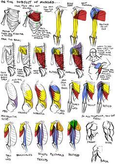 Human anatomy: muscles.