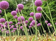 Garden of Allium.
