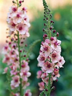 Perfect cottage- or country-style garden plants, mulleins offer spikes of blooms in shades of pink, purple, white, and yellow throughout the summer. They're also pretty versatile; most do well in sun or shade. Plant Name: Verbascum selections Growing Conditions: Sun or shade and moist, well-drained soil Size: Many common varieties grow to up 3 feet tall and 1 foot wide Zones: 4-9, depending on type
