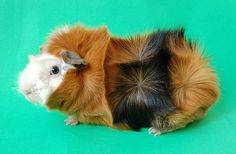 The Abyssinian breed of Guinea pig is known for its short and long, rough coat that has rosettes of hair. The derivation of the breed's name is unknown, but does not connote an origin in the geographical region of Abyssinia (present day Ethiopia). The ideal Abyssinian has 8 tight-centered rosettes, one on each shoulder, four across the back, one on each of the animal's hips, and two on the rump. Some judging bodies, such as the ANCC, consider shoulder rosettes optional but desired in show…