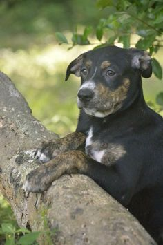 Max is an adoptable Greater Swiss Mountain Dog Mix looking for a new forever home in Orlando, FL! Check out his page for adoption information!