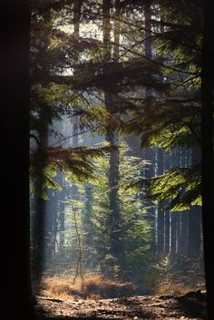 Through the trees and far far away - Subtle light shining through pine trees