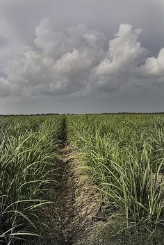 Sugar cane field in Thibodaux, LA. This field is located behind St. John church.