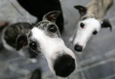 Greyhounds, love!!!