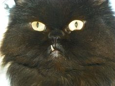Close second? Gruffalo. One fang, all heart. | 22 Reasons Why You'll Want Persian Cats On Your Apocalypse Team