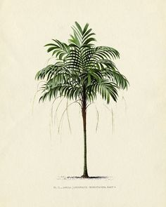 Vintage Tree Print Antique botanical french palm