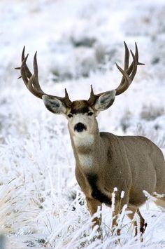 mule deer buck in the snow Mule Deer Buck, Mule Deer Hunting, Beautiful Creatures, Animals Beautiful, Cute Animals, Deer Pictures, Animal Pictures, Hunting Shop, Hunting Trips