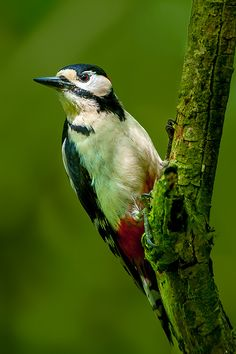 Photograph Great spotted woodpecker by Mike Pearce on 500px