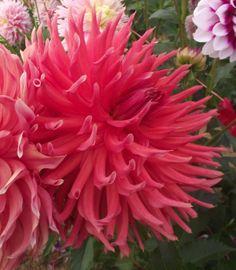 Incurved Cactus Dahlia 'Hollyhill Electra'