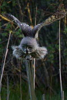 Amazing wildlife - Great grey owl photo #owls