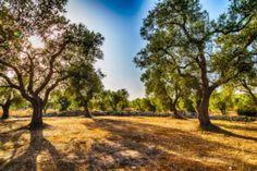I colori della Puglia sono i più belli del mondo. La regione è un trionfo di colori, sapori, storia, simboli. Vogliamo offrirvi un viaggio tra i simboli esclusivi della regione, famosa in tutto il mondo e consacrata dal National Geographic come una delle regioni più belle del mondo. Leggi l'articolo completo su www.ilmatrimonioinpuglia.it Stunning Wallpapers, Tree Images, Thing 1, Gone With The Wind, Olive Tree, Tree Art, National Geographic, All Art, Fine Art America