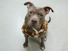 """TO BE DESTROYED - TUESDAY - 4/1/14 Manhattan Center    JOXER - A0994643   *** SAFER: EXPERIENCED HOME***   MALE, GRAY / WHITE, PIT BULL MIX, 1 yr  STRAY - 03/23/2014 Volunteer says """"So charming and friendly that he inspired a staff member to write 'Great dog!' on his intake card, when it comes to making a fabulous first impression.  He loves other dogs both large and small. Affectionate. He's a strong walker yet calm and easy to handle in a harness leash."""" Waiting for a loving home with you!"""