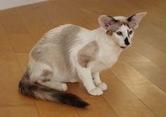 Seal Point and White Siamese mix Cute Baby Cats, Cute Cats And Kittens, Cool Cats, Kittens Cutest, Pretty Cats, Beautiful Cats, Oriental Shorthair Cats, Balinese Cat, Cute Wild Animals