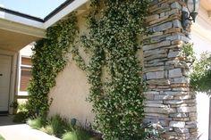 Frontyard/Backyard Greener Designs: How To Care For Star Jasmine (Trachelospermum jasminoides) Thing Moon Garden, Side Garden, Lawn And Garden, Dry Garden, Fast Growing Vines, Fast Growing Plants, Green Landscape, Landscape Design, Garden Design