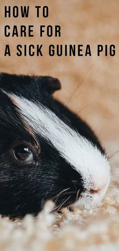 How do you know if you have a sick guinea pig?If you share your home with a guinea pig or two, keeping them happy and healthy is a priority. Diy Guinea Pig Toys, Pet Guinea Pigs, Guinea Pig Care, Veterinary Technician, Guinea Pig Information, Guinnea Pig, Find Pets, Animals For Kids, Amigurumi