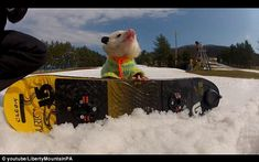Ratatouille, the snowboarding opossum See the video here: http://www.dailymail.co.uk/news/article-2112468/Opossum-snowboarding-video-Ratatouille-YouTube-hit.html