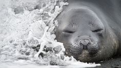The Smithsonian's annual photo contest features stunning shots of animals and nature. 2015 finalist, A wave strikes an elephant seal pup. Smithsonian Photo Contest, South Georgia Island, Animal Action, Elephant Seal, Seal Pup, Concours Photo, Surf, Crashing Waves, Photo Competition