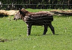 The two most popular striped mammals are the Tigers and Zebras . Aside from these two striped animals, can you name more stripes mammals? Sumatran Rhinoceros, South America Animals, American Animals, Zebras, Central America, Mammals, Giraffe, Weird, Creatures