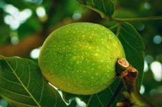 Jak zpracovat vlašské ořechy Lime, Fruit, Food, Gardening, Garden, Hoods, Lawn And Garden, Meals, Key Lime