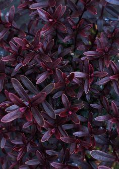 Foliage of Hebe 'Pascal' © Dianna Jazwinski